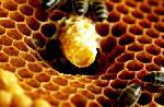 Sữa ong chúa được tạo thành như thế nào?